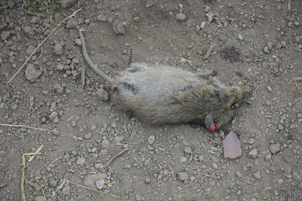 Dead Mice Methods Of Treatments