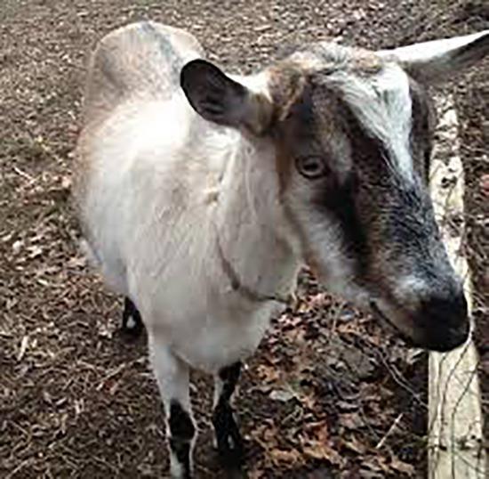 Goat Testicles