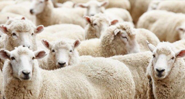 Death by Sheep