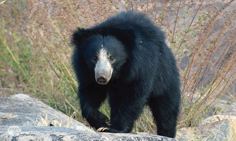 Face-Eating Sloth Bear