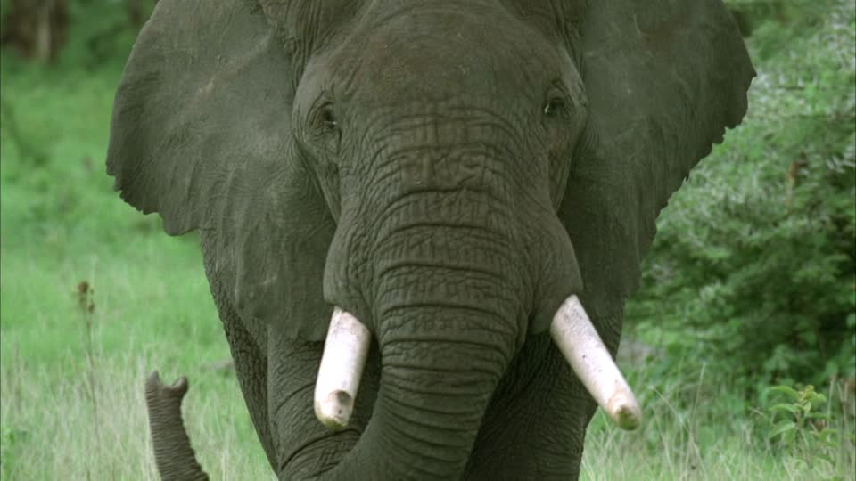 The Elephant, Osama bin Laden