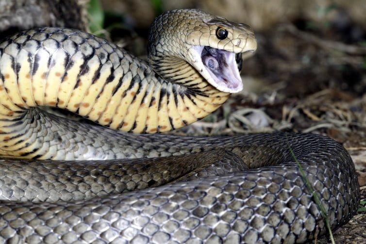 Nigeria's Killer Snake