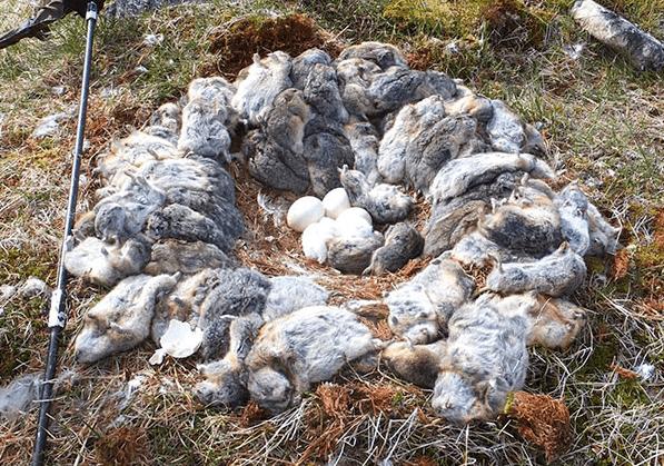 Dead Lemmings Surrounding Owl's Nest
