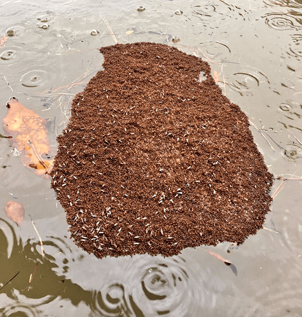 Floating Island of Fire Ants