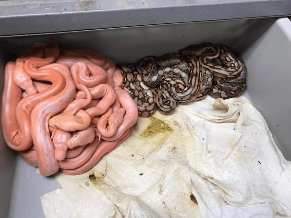 Baby Pythons Separating Themselves By Color