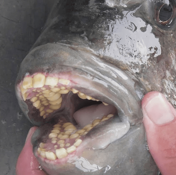 Sheepshead Fish Has Human-Like Teeth
