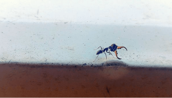 Ant Carrying Head of Rival