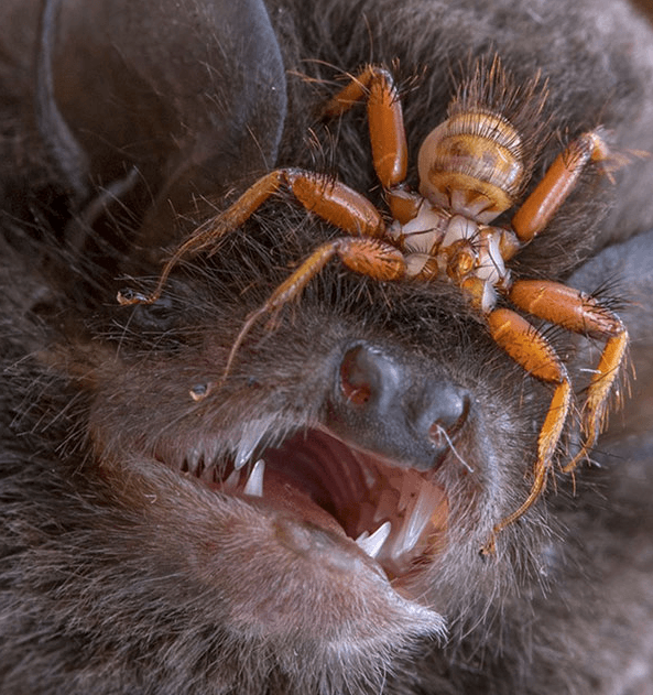 Wingless Fly Penicillidia- Attaches To Bat's Body's And Never Leaves