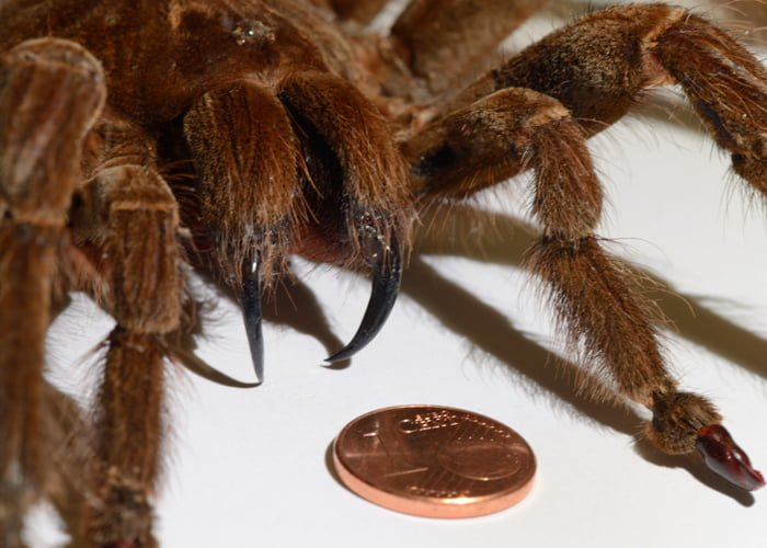 The Goliath Birdeater Tarantula