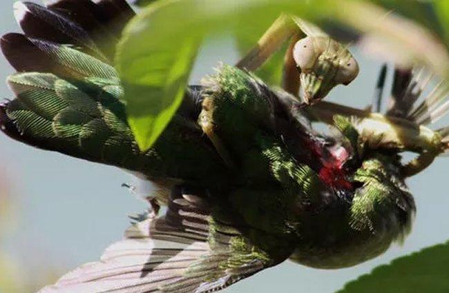 Mantises Consume Bird Brains On A Regular Basis