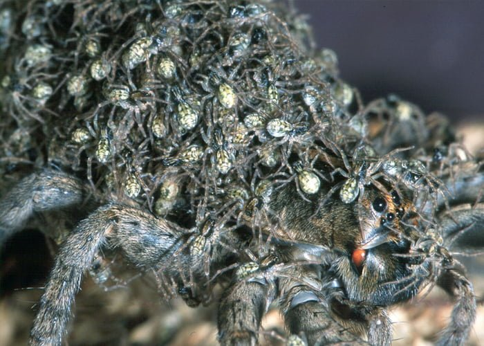 Haunting Spider
