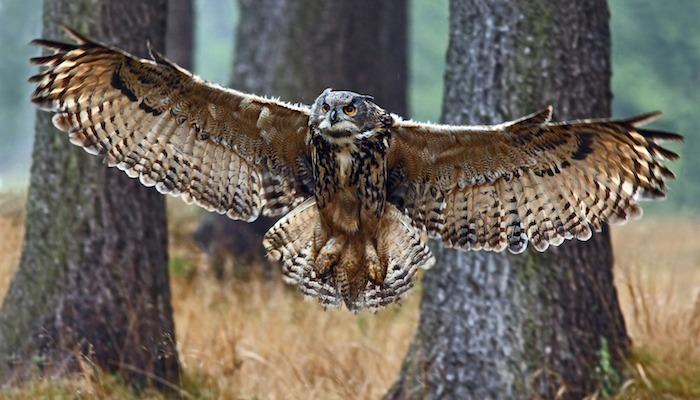 It Was Termed Blood Eagle Or Blood Owl