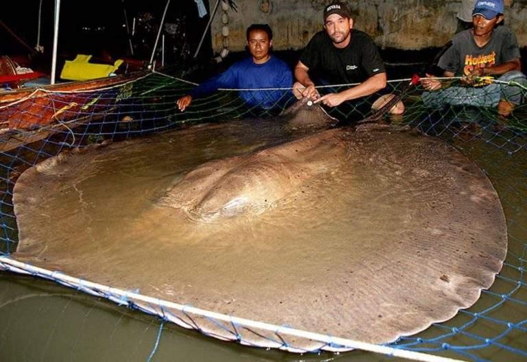 Giant Freshwater Stingray