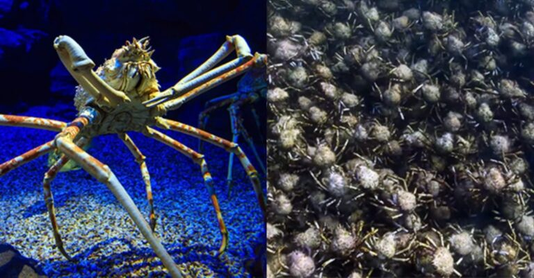 A Gigantic Horde Of Spider Crabs Marched Along The Ocean Floor & We Are Both Horrified & Entranced