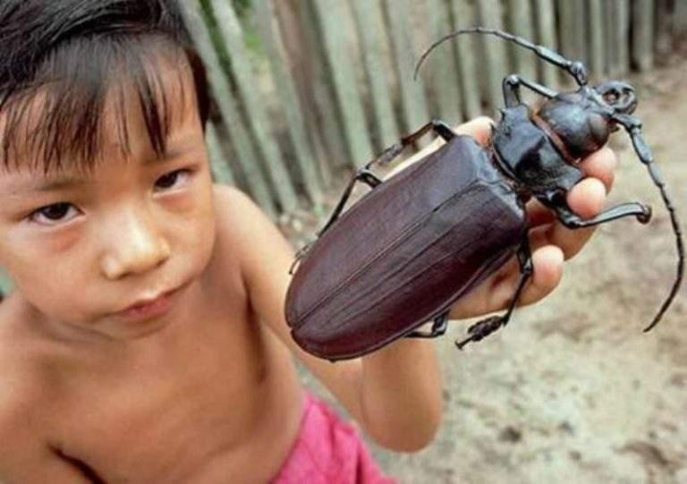 Titan Beetle