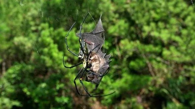 Bat-Eating Spider