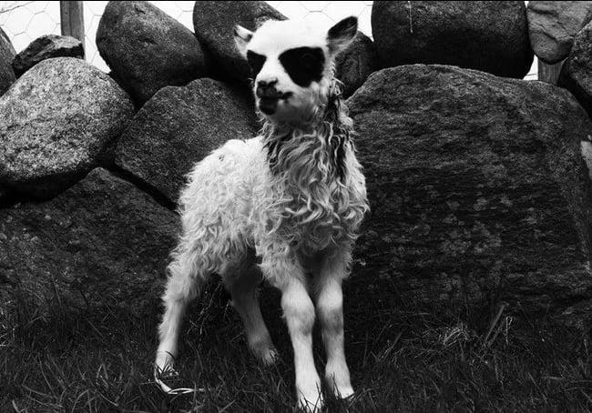 The Black Metal Sheep
