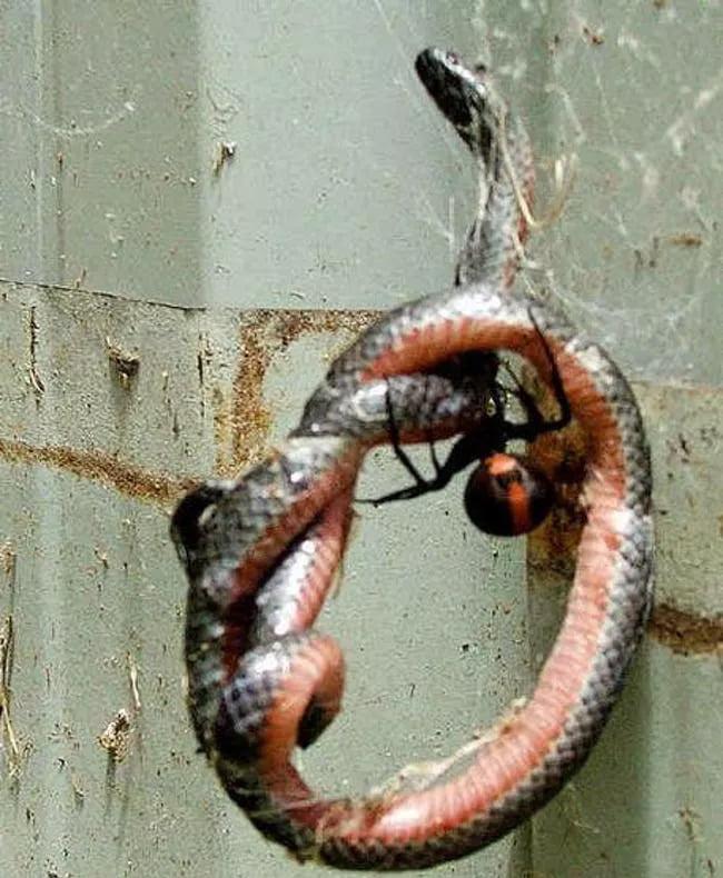 Spider Vs. Snake