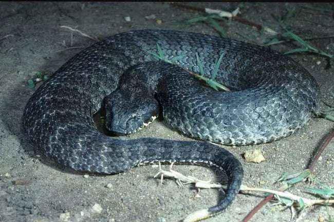 Adder the Snake