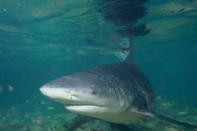 Ferocious Bull Shark