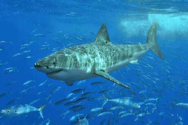 Huge White Shark at Australian Coast