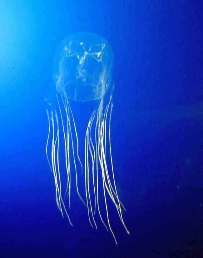 The Box Jellyfish of the Northern Territory