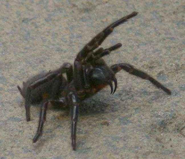 Sydney's Funnel Web Spider