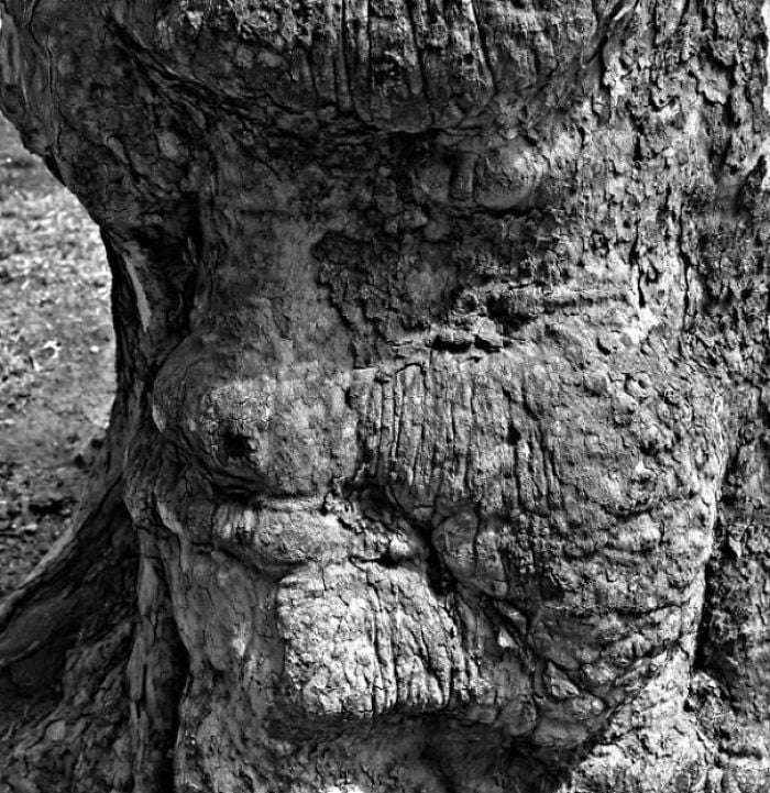 This Face In A Sycamore Tree