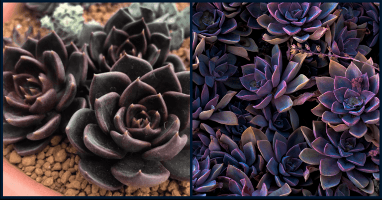 Complete Your Gothic Garden With These Black Succulents
