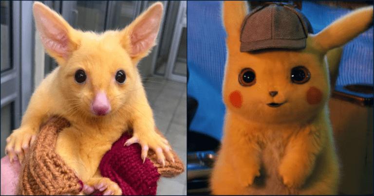 Meet Pikachu, The Mutated Golden Australian Possum