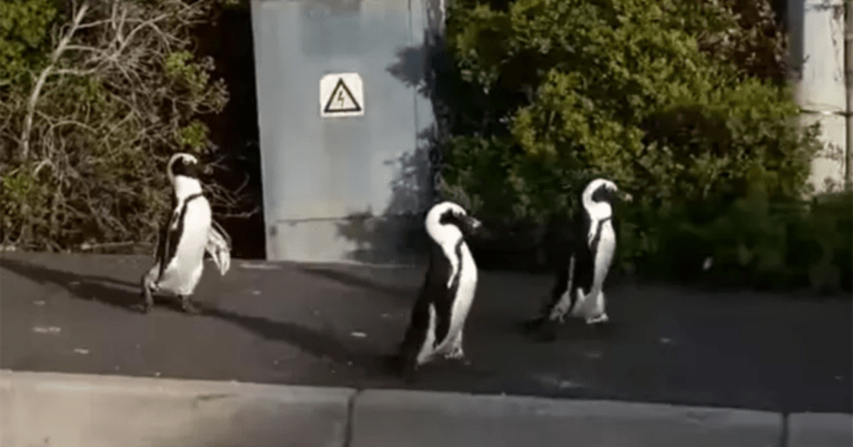 Penguins Freely Stroll Through The Streets During Lockdown