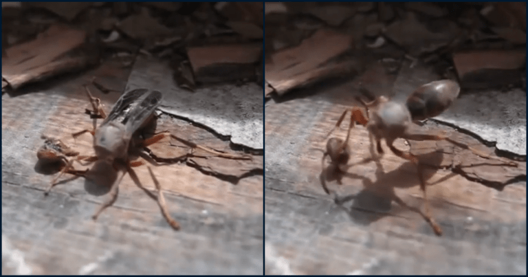 Watch As Wasp Flies Away Carrying Its Decapitated Head