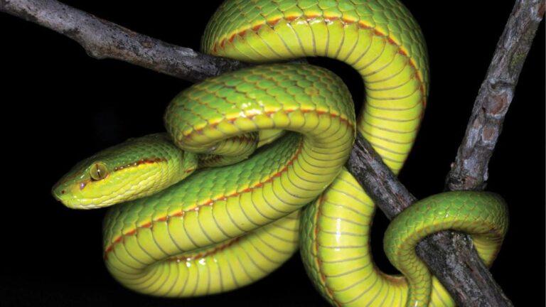 New Species Of Snake Discovered And Named After Salazar Slytherin
