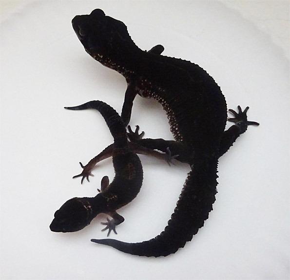 Black Night Leopard Geckos