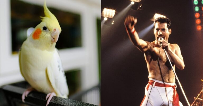 This Cockatiel Singing Queen Songs Will Make Your Day