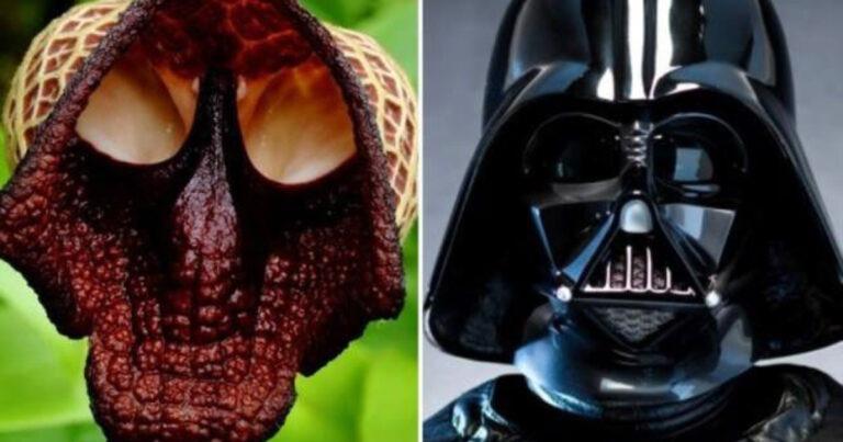 Aristolochia Salvadorensis: The Darth Vader Flower