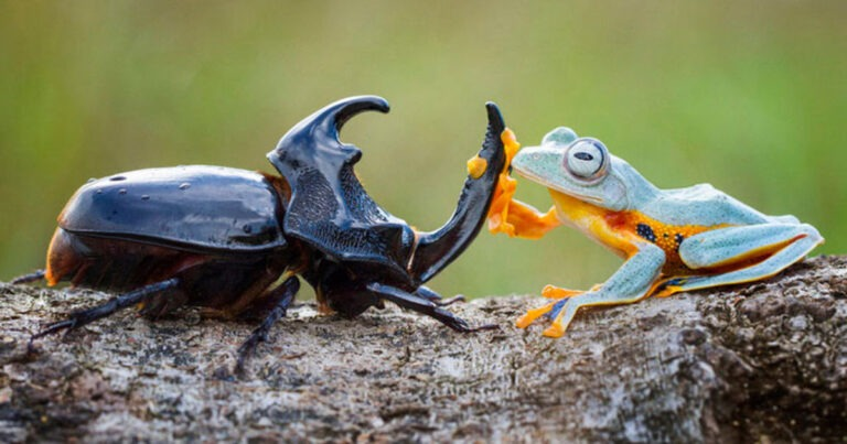 Unlikely Friends: Frog and Beetle Put on a Rodeo Show for Wildlife Photographer
