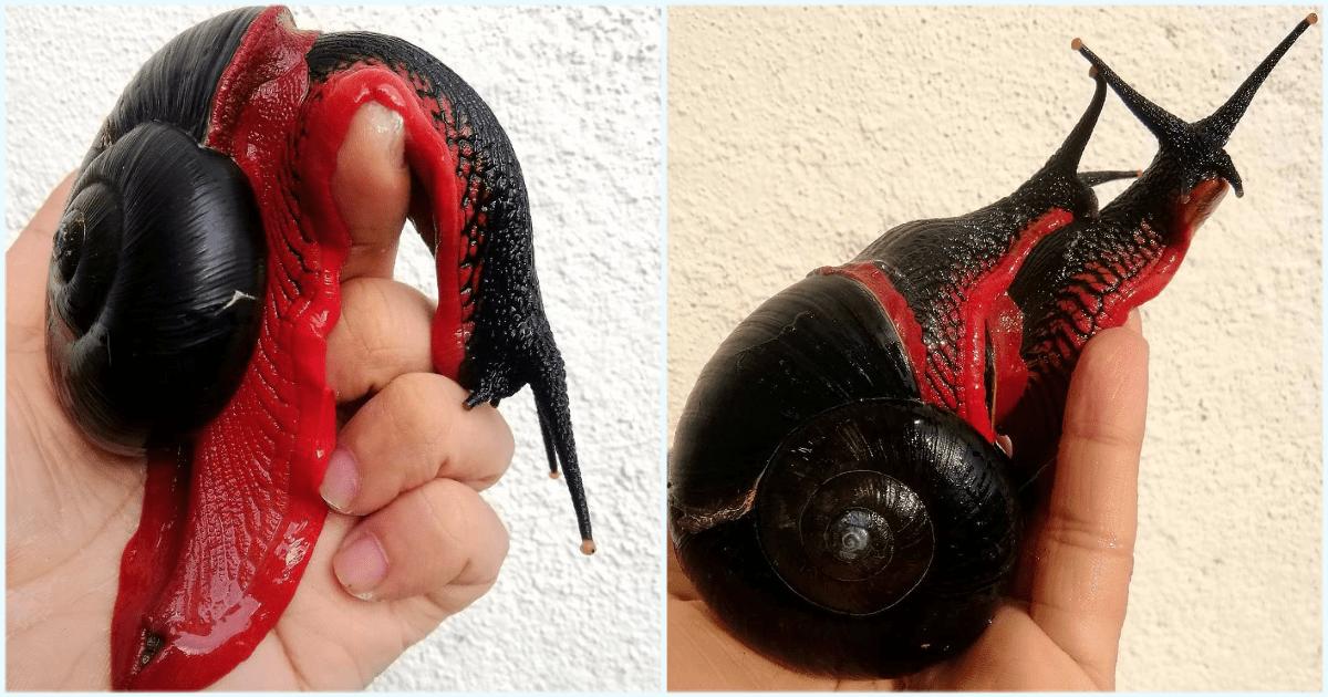 Fire Snail
