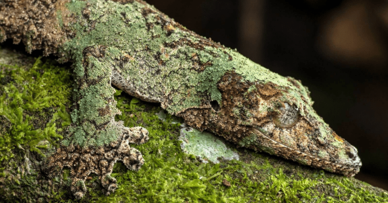 These Creepy Geckos Are The Masters Of Camouflage