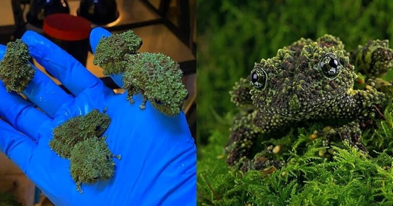 Meet The Vietnamese Mossy Frog, A Master Of Disguise