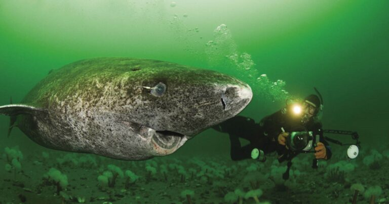 Greenland Shark Discovered To Be 400 Years Old
