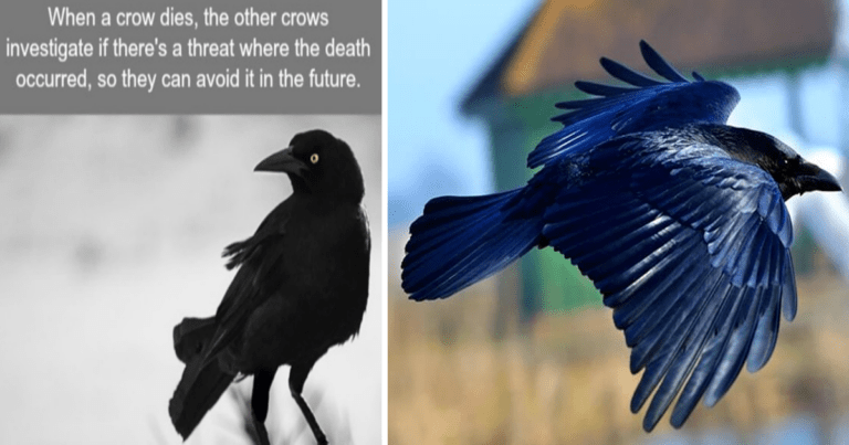 10 Weird Facts About Crows, That You Didn't Know
