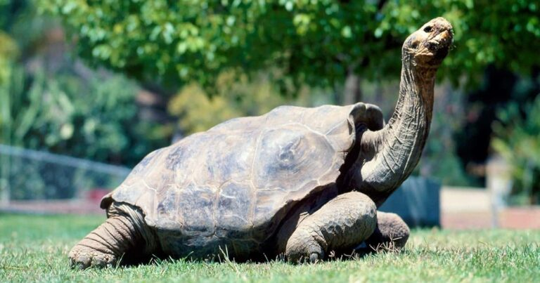 Diego The Tortoise Retires After Saving His Species