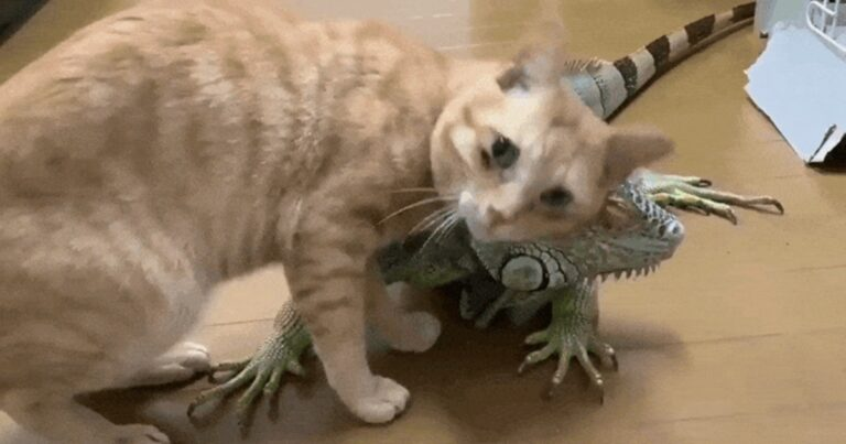 An Iguana Is A Cat's Favorite Thing To Scratch Itself With. He Has Another Unusual Friend Too