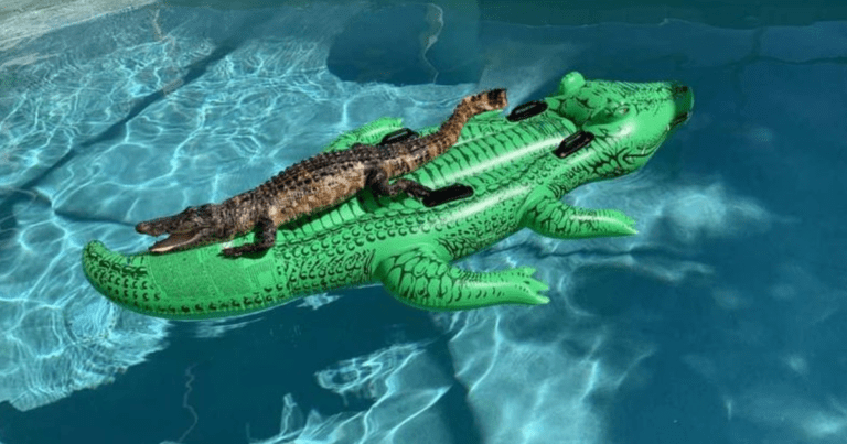 This Real Alligator Lounging On An Alligator Pool Float Will Make Your Day