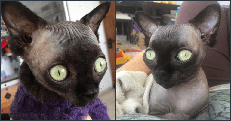 Meet Lucy, A Uniquely Adorable Sphynx Cat With A Rare Condition