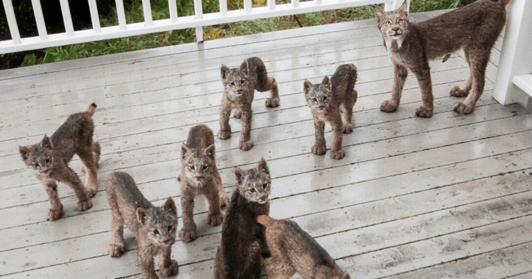 Alaskan photographer surprised to see a family of lynxes hanging out on his porch