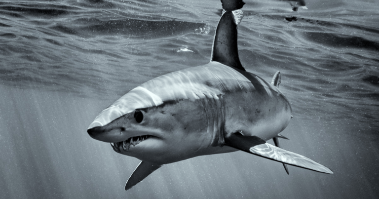 How a shark vomiting a human arm started a major murder mystery in Australia