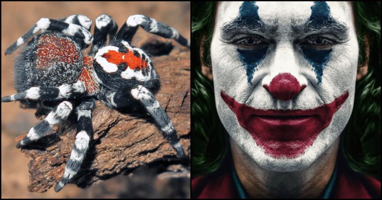 New Spider Species Named After Joaquin Phoenix Due To Joker Likeness