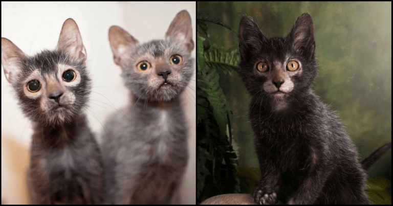 You'll Fall In Love When You See This New Breed Of Werewolf Cats